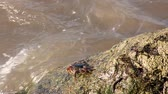 living environment : Crab walking and crawling on heavy beach rocks, water grabbing them with pressure, crabs looking for hunt and food on Oman beach, edible crustaceans roaming on water, life cycle of living organisms