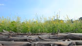 kenevir : sunn hemp field (crotalaria juncea or indian hemp) with wooden bridge