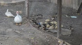 kachňátko : ducks in farm and cage
