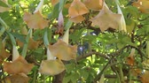 vegetação : Bees Buzzing Around Angels Trumpet Flowers