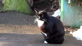 elegáns : Black cat with a white collar sits on the asphalt, raised her paw and walked around Stock mozgókép