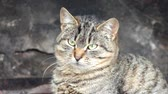 timid : Common tabby cat is meditates