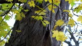 акация : Yellowed maple leaves against the background of the trunk of the acacia rustle in the wind Стоковые видеозаписи
