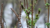 herbaceous : Dry baskets of motherwort fluttered in the wind (Leonurus sibiricus)