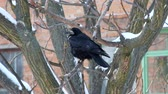 havran : Rook meditating on leafless branch and looking around (Corvus frugilegus)