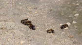 vespa : European dark bees collect moisture from the ground (Apis mellifera mellifera) Vídeos