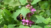 cins : Large bumblebee cleans its paws after collecting pollen on the flowers of dead nettles (Bombus)