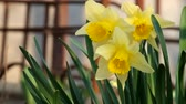 cins : Light breeze shakes the yellow flowers of wild daffodil (Narcissus pseudonarcissus)