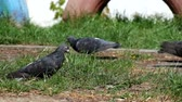 нахальный : Pigeons graze on young green grass (Columba livia)