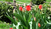 liliales : Red tulips gently swing from the wind (Tulipa) Stock Footage