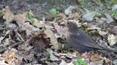 cins : Song thrush closely followed the developments around (Turdus philomelos)