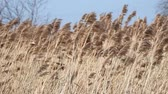szárak : Strong wind shakes the high dry grass