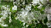 cins : White cherry blossom swaying in the wind. Wind shakes twigs of blossoming cherry Stok Video