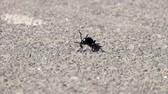 raro : Young violet oil beetle sits on the asphalt and moves antennae (Meloe violaceus)