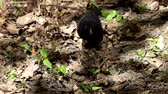 cins : Blackbird searches under the dry leaves of the beetle larvae (Turdus merula)