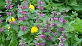 herbaceous : Blossoming red dead nettle swaying in the wind (Lamium purpureum) Stock Footage