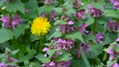 листья : Blossoming red dead nettle swaying in the wind (Lamium purpureum) Стоковые видеозаписи