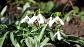 cins : Snowdrops are the first spring flowers. A light breeze waves the snowdrops and the first flies creep along the petals (Galanthus nivalis) Stok Video