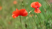 Red poppy flutters in the wind. Buds, flowers and capsule of field poppy (Papaver rhoeas) Стоковые видеозаписи