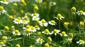 Wild chamomile rustle by the wind (Matricaria chamomilla)