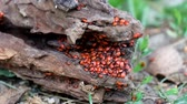 rachaduras : Congestion of young specimens of firebugs (Pyrrhocoris apterus)