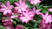 cins : Flowering Clematis. Flies flies over the purple flowers of clematis (Variety Ville de Lyon)