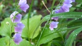 Peach-leaved bellflower covered with drops of morning dew rustling in the wind (Campanula persicifolia) Стоковые видеозаписи
