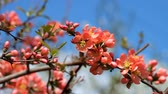 Orange-red flowers of Japanese quince. Blooming Maules quince (Chaenomeles japonica)