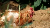 Plucked chicken is luxuriating in the sun (Gallus gallus domesticus)