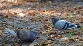 Pigeons in the park eat bread crumbs. One of the pigeons