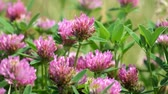 kvetoucí : Purple flowers of red clover close-up (Trifolium pratense)