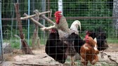 cins : Rooster and chickens in a paddock (Gallus gallus domesticus)