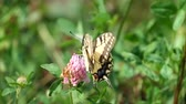 cins : Common yellow Swallowtail handles clover flower (Papilio machaon)