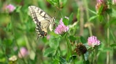 Common yellow Swallowtail handles clover flower (Papilio machaon)