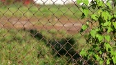 rez : Common hop entwined in old rusty fence