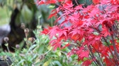 октябрь : Foliage of Japanese maple tree