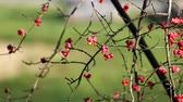 Poisonous berries of burningbush (Euonymus atropurpureus)