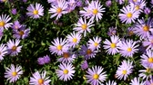 cins : Purple New York aster. Daisy-like flowers with golden centers (Symphyotrichum novi-belgii)