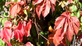 Red autumn grape leaves sway in the wind