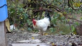 White rooster and ginger chickens are looking for food on the ground