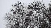 havran : Flocks of Rooks are sitting on a tree during a snowfall (Corvus frugilegus)