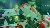 red : Slow motion of goldfish eating fish food and swimming in freshwater aquarium. Close up