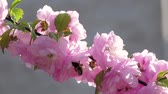 легко : Flowering apricot. Bees. Close up. Slow motion