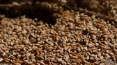 aveia : Wheat grains agricultural crop harvest. Rotation. Close up