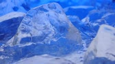 large number of : Pieces of ice lies on the table, blue illumination beautifully lies over fragments. Close up Stock Footage
