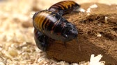 awful : Madagascar cockroach crawls on the ground . Close up Stock Footage