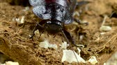 hexapod : Madagascar cockroach crawls on sawdust. Close up. Slow motion Stock Footage