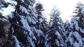 quebra cabeças : Snow lies on the coniferous trees . Aerial view. Close up Stock Footage