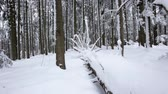 conífero : Snow lies on the paths in the coniferous forest. Dolly shot. Slow motion. Close up