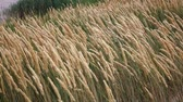 spikelet : Ripening wheat in the field. Slow motion